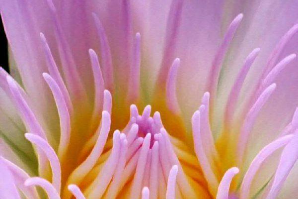 EDV / Lotus_Extraordinaire