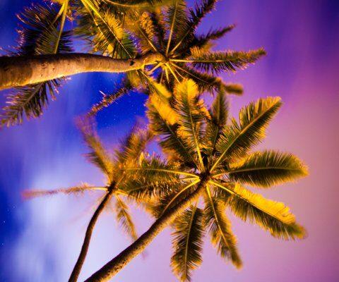 CB / Purple Palms